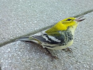 a stunned warbler that was lucky to have been spotted by Prof Butler - this one survived