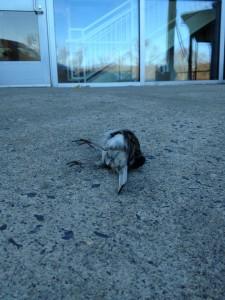 Junco (snowbird) outside AEC