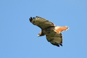 The Red-tailed Hawk flashes its namesake tail