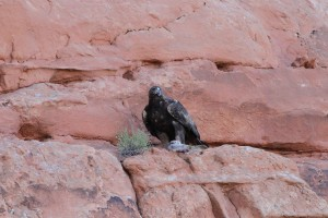 Golden eagle with prey - Arches National Monument