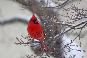 Who doesn't like a cardinal in the snow?