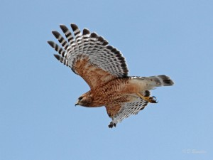 Red-shouldered hawk, Nockamixon State Park