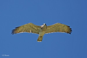Short-toed snake eagle, Tarifa, Spain