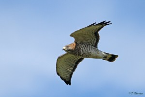 Broad-winged Hawk migrating along a ridge near Easton
