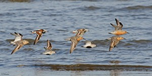 Shorebirds gather along the Delaware Bay each spring, en route from South America to the high arctic