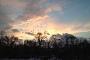 Snow geese at sunset - Riegelsville (cell phone pic)