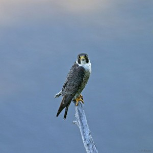 Handsome adult perched on a snag - Peregrines often have favorite perches near their nest site that they use habitually