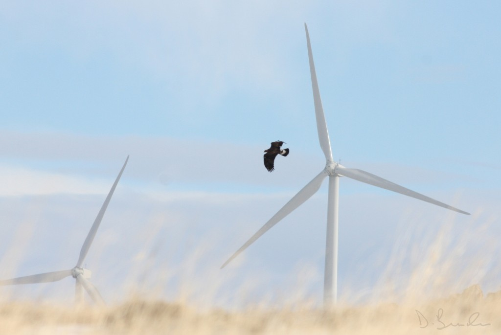 Golden eagles collisions are a problem at a number of wind energy sites in the west