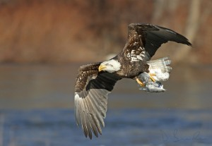 The eagle grabbed a gull at the river's edge in Easton