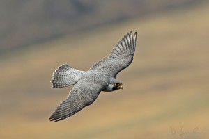 Peregrine falcon zooms past below eye-level