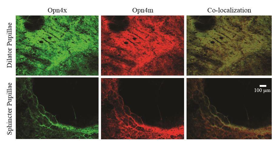 Detecting Melanopsin In Turtle Iris Discussion James Dearworth
