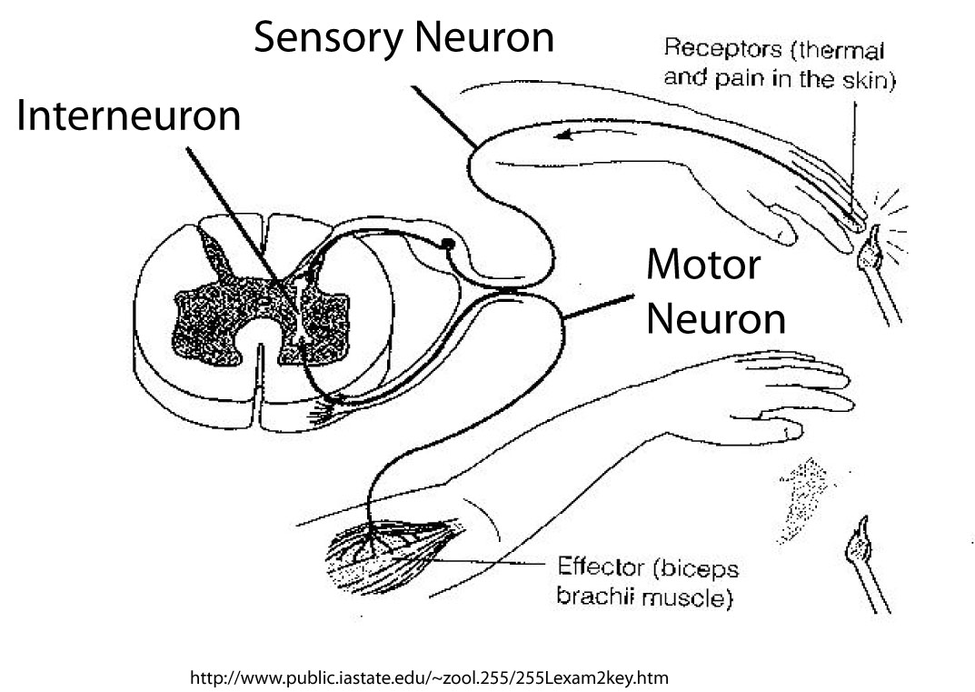 light response of crayfish neurons  discussion