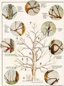 Tree Pruning Illustration by Kim Duffy