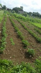 Potatoes before hilling