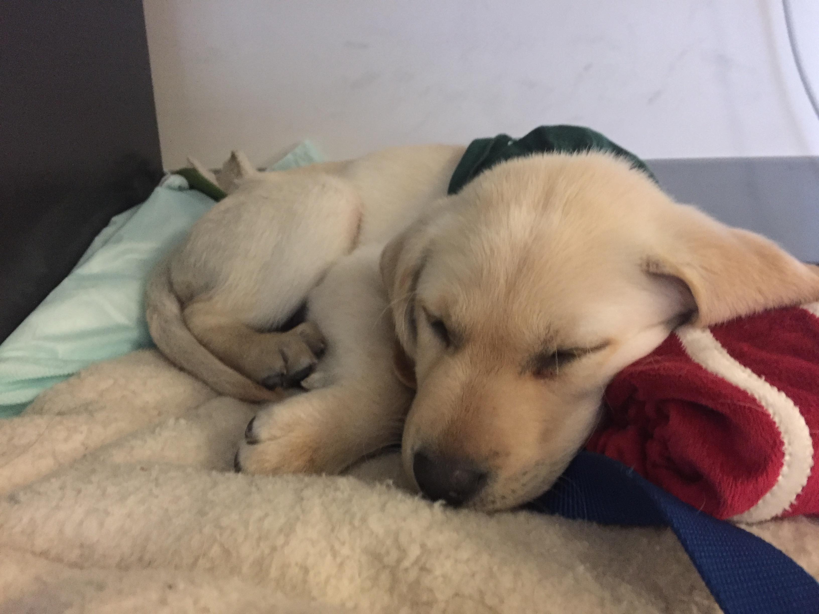 A 10-week-old yellow Golden Retriever/Yellow Labrador puppy sleeps on his bacon pillow.